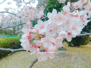 花,桜,花見,お花見,桜の花,さくら,ブロッサム