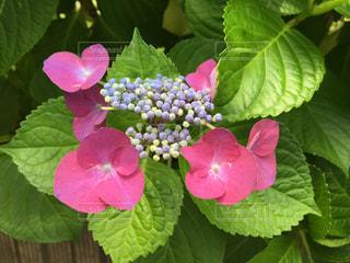 花,葉,季節,景色,紫陽花,梅雨,草木
