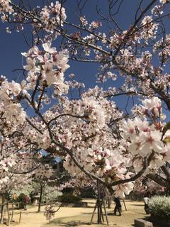 公園,花,春,桜,屋外,綺麗,景色,樹木,草木