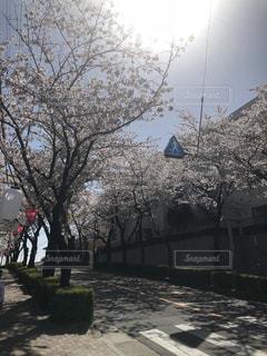 公園,花,春,桜,屋外,綺麗,車道,景色,樹木,草木