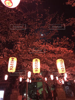花,春,桜,夜,屋外,神社,綺麗,暗い,夜桜,景色,樹木,草木