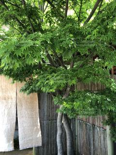 塀の前に木 - No.1158131