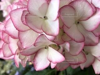 花,ピンク,白,紫陽花,アジサイ,ふちどり