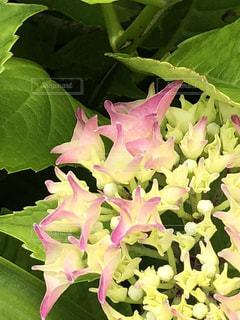 花,ピンク,鮮やか,草花,紫陽花,グリーン,黄緑,アジサイ