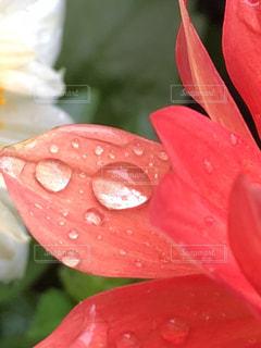 花,雨,赤,水滴,草花,水玉,梅雨
