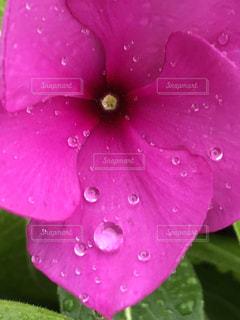 花,雨,ピンク,植物,水滴,鮮やか,草花,キラキラ,水玉,梅雨