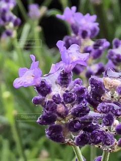 花,雨,紫,水滴,ラベンダー,草花,キラキラ,水玉,梅雨
