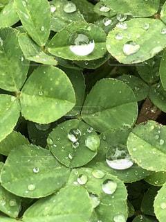 雨,水滴,キラキラ,クローバー,水玉,梅雨