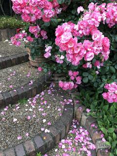 花,雨,ピンク,階段,花びら,薔薇,梅雨