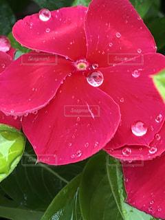 花,雨,赤,水滴,キラキラ,水玉,梅雨,雨粒