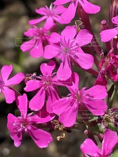 花,ピンク,草花