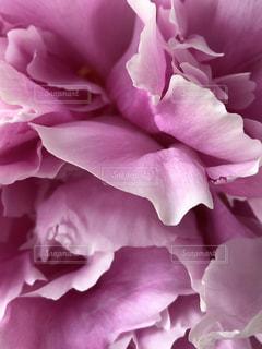 花,ピンク,草花,芍薬