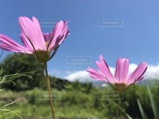 空,ピンク,コスモス,青空,草花,秋桜,秋の空