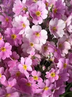 近くに紫の花の房のアップの写真・画像素材[1799590]