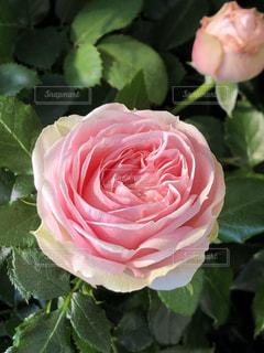 近くにバラのアップの写真・画像素材[1799594]