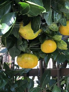 近くに果物の木からぶら下がってアップの写真・画像素材[1799629]