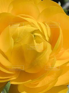 花,春,黄色,ラナンキュラス