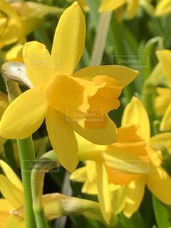 花,春,黄色,黄水仙