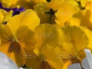 花,春,黄色,たくさん,ビオラ