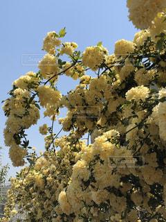 花,黄色,草花,たくさん,木香薔薇,薔薇バラ