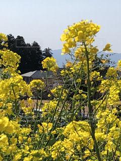 風景,花,春,黄色,菜の花,景色,草花