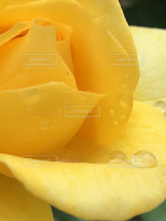 花,黄色,水滴,薔薇,水玉