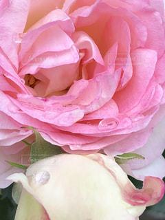 花,雨,ピンク,水滴,薔薇,水玉