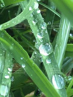 雨,緑,水,葉っぱ,水滴,キラキラ,水玉,雫,雨粒,銀色