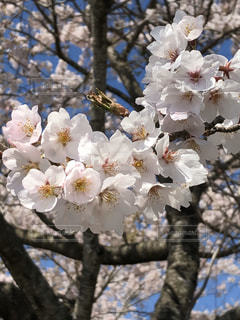 花,春,青空,満開,樹木,桜の花,さくら,ブロッサム