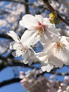 花,春,青空,桜の花,さくら,ブロッサム