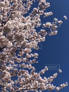 花,春,青空,青い空,樹木,桜の花,さくら