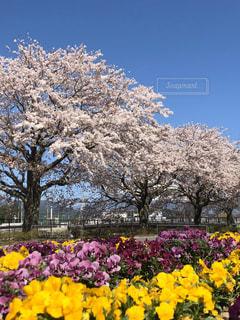 花,春,桜,花畑,屋外,ピンク,青空,紫,黄色,桜並木,樹木,ビオラ,ブロッサム