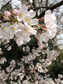 花,春,満開,樹木,桜の花,さくら,ブロッサム