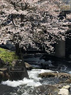 自然,花,春,桜,川,水面,樹木