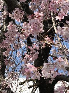 花,春,桜,ピンク,樹木,枝垂れ桜,桜の花,さくら,ブロッサム