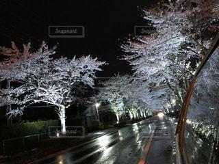 春,桜,夜,雨,屋外,車,道路,夜桜,桜並木,反射,ライトアップ