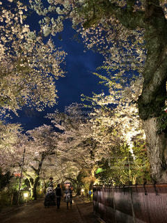 風景,空,花,春,桜,木,屋外,夜桜,桜並木,樹木,ライトアップ