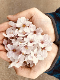 盛り盛りの桜の写真・画像素材[3064383]