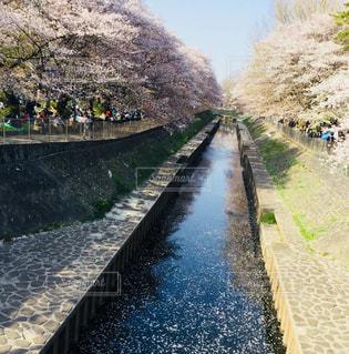 桜,お花見,Snapmart,桜の川,コンテスト,写真素材,花絶景