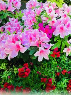 花,春,ピンク,鮮やか,つつじ