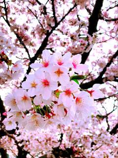 春,桜,散歩,散歩道,ソメイヨシノ,静岡県,花絶景,由比川河川敷