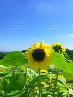 空,夏,ひまわり,栃木県,那須,南ヶ丘牧場,花絶景,ひまわりと空