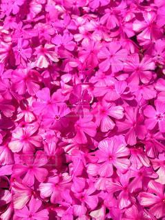 春,ピンク,満開,芝桜,福島県,ドアップ,どピンク,平田村,花絶景