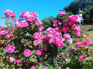 ピンク,晴天,バラ,薔薇,コントラスト,静岡県,花絶景,河津市,河津バガテル公園