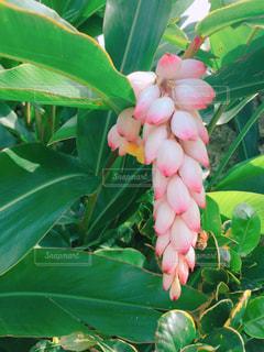 花,蜂,神秘的,竹富島,沖縄県,星のや,月桃,花絶景,月桃の花