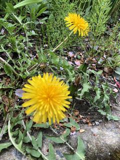 花,屋外,たんぽぽ