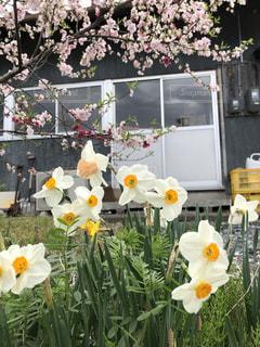 桜,屋外,水仙
