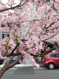 花,春,桜,ピンク,横浜,上大岡