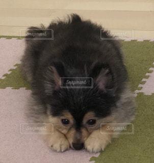 地面に横たわっている犬の写真・画像素材[1210266]