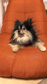 犬,ポメラニアン,お部屋,室内,愛犬,ブラックタン,お部屋でのんびり